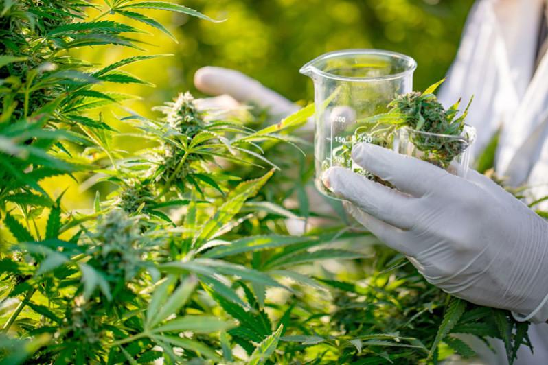 cannabis22
